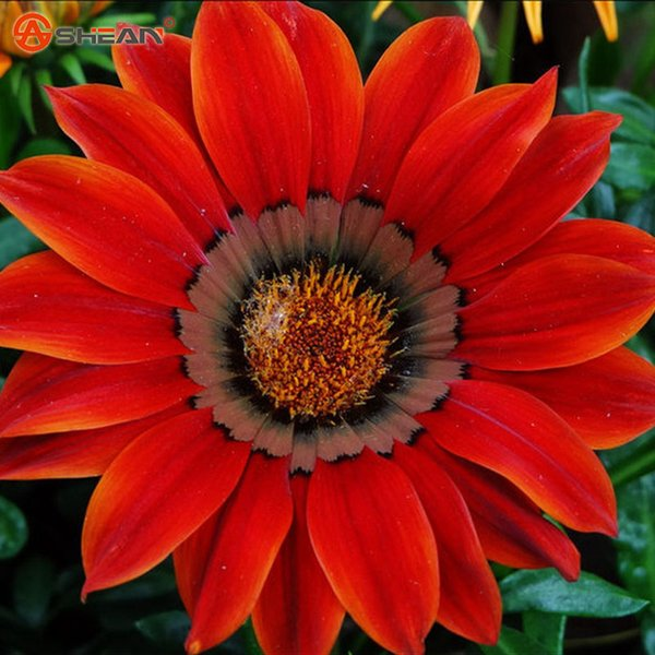 Yeni Gelenler 100 adet / torba Kırmızı Krizantem Gazania Tohum Çok Yıllık Çiçekli Bitkiler Saksı Çiçekleri Tohumları DIY Ev Bahçe