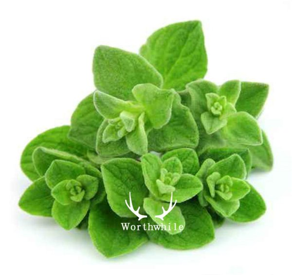 500 Oregano Herb Seeds Hardy Perennial Vegetable for DIY Home Garden Bonsai