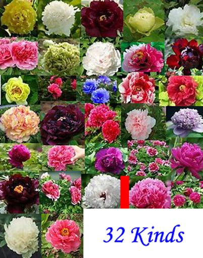 Wholesale - 32 kinds China Peony Seed Paeonia suffruticosa Tree each 20 seed total 640 seeds Separate,you will get 32 bags Free shipping