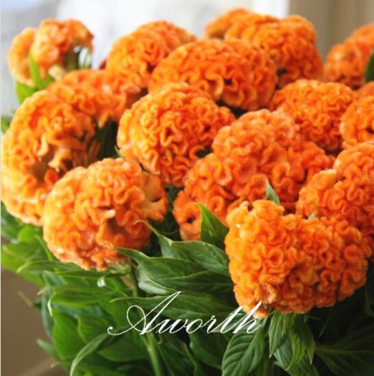 Giant Yellow Cockscomb Flower 1000 Pcs Seeds Easy-growing DIY Home Garden Annual Flowering Plant High Germination Rate