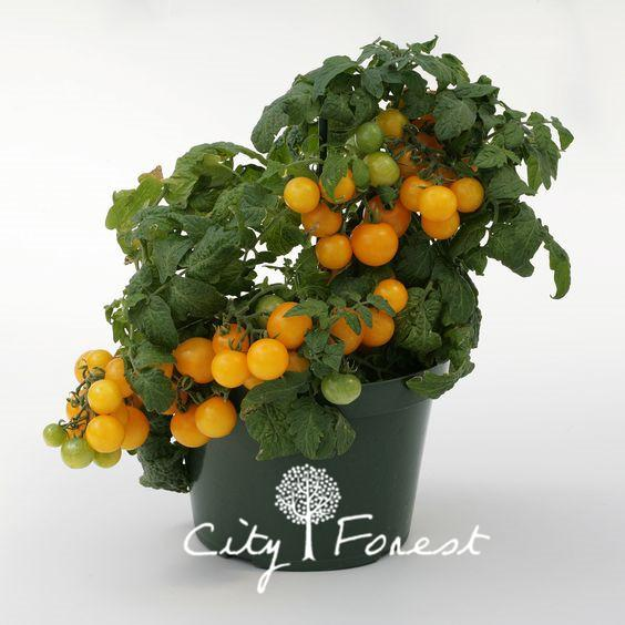 100 Yellow Cherry Tomato Non-Gmo Vegetable Seeds Easy to Grow DIY Home Garden Bonsai Vegetable