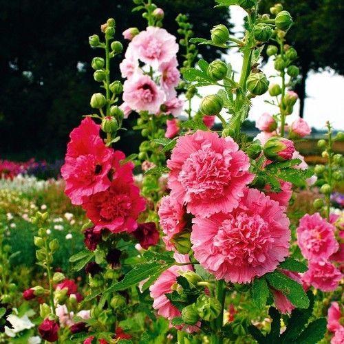 Gül Fatma çiçek tohumları Mix Çiçek Tohumları Çok Yıllık bahçe dekorasyon bitki 20 adet C16