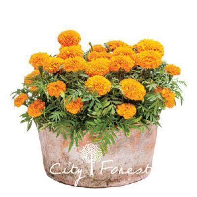 Hybrid Marigold Orange Tagetes Flower Big Blosssom 100 Seeds / Bag Easy to Grow Great Cut Flower or Landscape Bonsai Pot Plant Variety