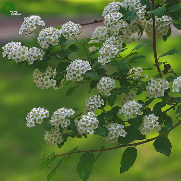 Spiraea Seeds Bonsai Seeds Garden Plants Flower Seeds Annual Herb 50 Particles / lot J06