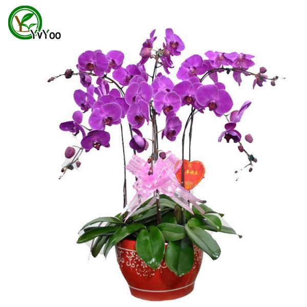 Daha fazla renk Güve orkide tohumları Çiçek Tohumları Kapalı Bonsai bitki 30 parçacıklar / lot u010