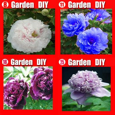 Wholesale - China's Peony Seeds Paeonia suffruticosa Tree 4 color blue flower etc. 80 seeds. Separate,you will get 4 bags Free shipping