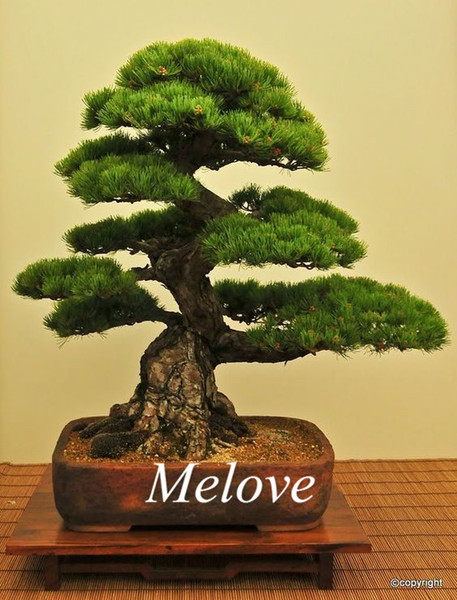 50 Japanese Black Pine Seeds for DIY Home Garden Bonsai Easy to grow from seeds