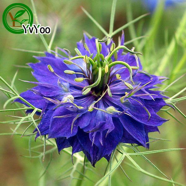 Multi color optional Persian flower Seeds Bonsai Seeds Garden Plants Flower Seeds Annual Herb 30 Particles / lot Q035