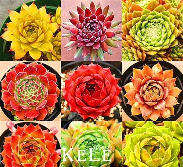 Home Garden Plant 10 Graines Rare Sempervivum Mix Succulent Graines fleurs pour la chambre, plantes en pot bonsaï * cadeau, # EJ1RK