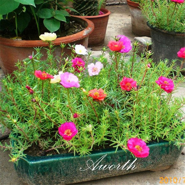 500 Adet Tohumlar Karışık Renkli Portulaca grandiflora Moss Gül Çiçek Büyük kapsayıcı, kolayca Kuraklığa dayanıklı Yetiştirilen