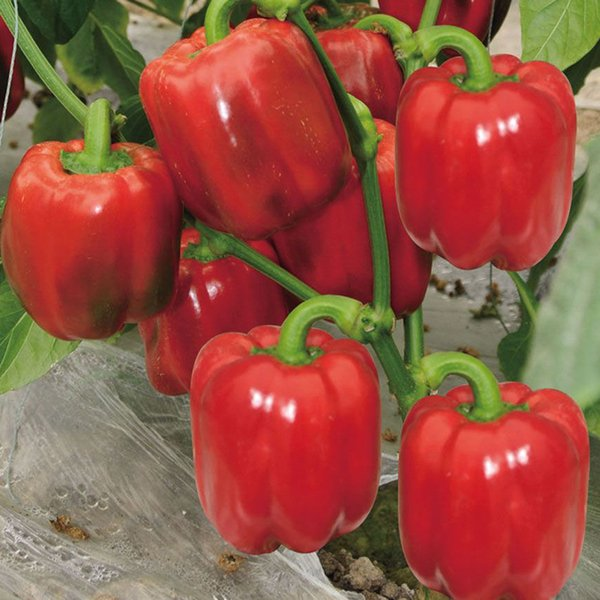 100 seeds/pack Bell Red Pepper Seeds