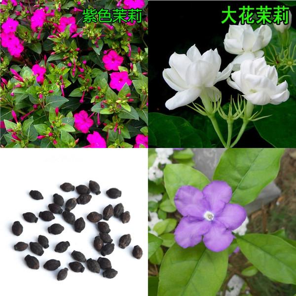 2016 Jasmine (genre) Aiton 100 graines de fleurs de jasmin Graines de jardins chinois du Sud Vivaces Woody Jasmine White Graine de couleur pourpre 1168