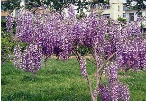 Vente en gros - 20 graines de vigne de glycine chinoise bleue, arbre de graines de fleurs (Fast, Showy) Wisteria sinensis Livraison gratuite