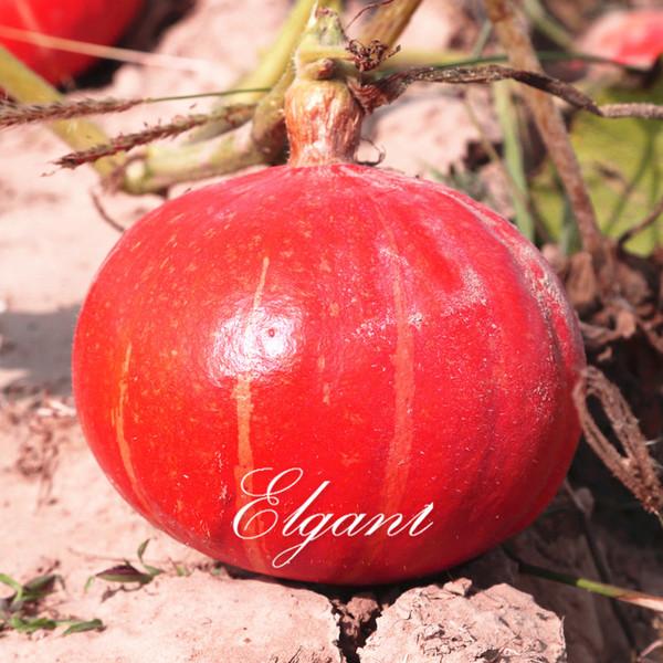 Potiron Rouge Petite Variété 10 Graines Croissance Rapide Légumes Doux Saveur