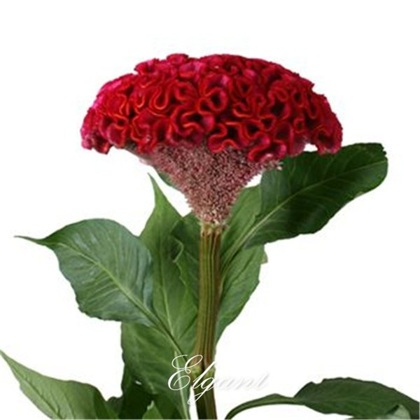 Giant Red Cockscomb Flower 1000 Seeds Red Velvet Celosia Super Easy to Start from Seeds