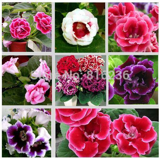 flowers gloxinia seeds, sinningia gloxinia flower seed Garden plants, perennial planting - 50 seeds