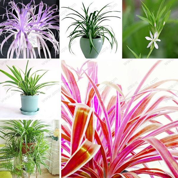 100 adet / torba Chlorophytum Tohumları Bonsai Formaldehit Absorbe Çok Yıllık Saksı Bitkileri Ev için Kapalı Hava Arıtma Bitkiler