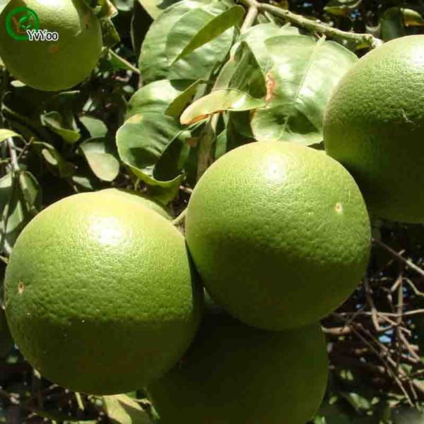 Trifoliate orange Seeds garden plants Bonsai organic fruit and vegetable seeds 30 PCS k005