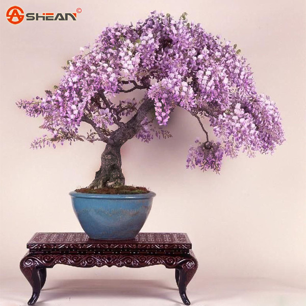 Bonsai Wisteria Sinensis Tree Seeds Lndoor Outdoor Ornamental Olants DIY Home Garden 20 Particles / lot