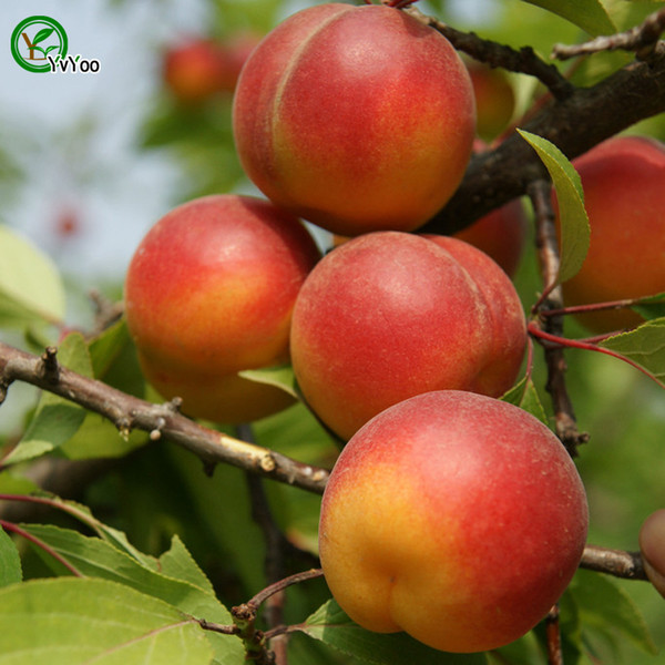 Plum Seeds Green Organic Vegetables and Fruit Seeds Delicious 5 Particles / lot M013