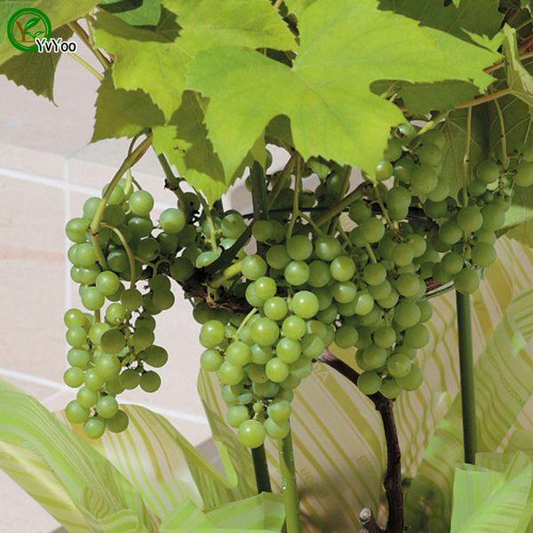 Raisins verts Graines de plantes de jardin Bonsai fruits et légumes graines 30pcs G016