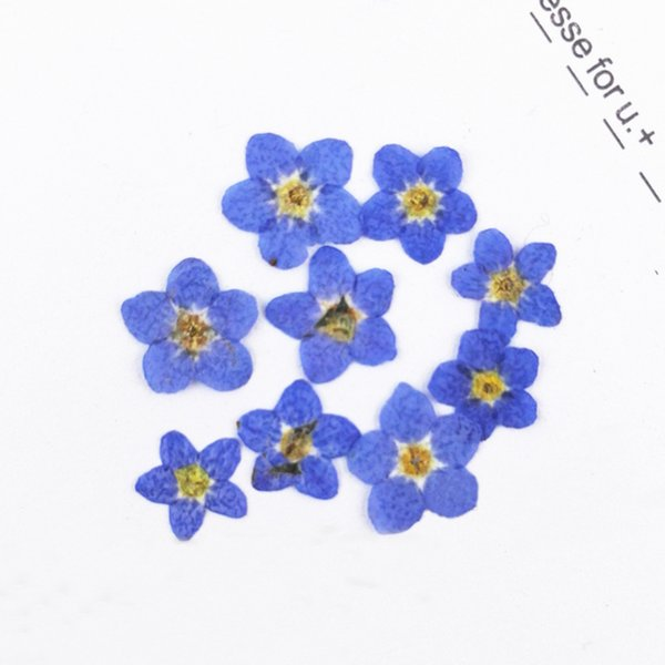 Color Small Dried Flowers Do Not Forget Me Plant Specimens, Pressed Flower Arrangements For Nail / Postcard Decoration 200Pcs Wholesales