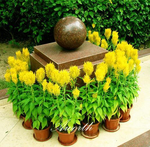Celosia Yellow Cockscomb Flower 1000 Pcs Seeds plume-like blooms Easy to Grow from Seed
