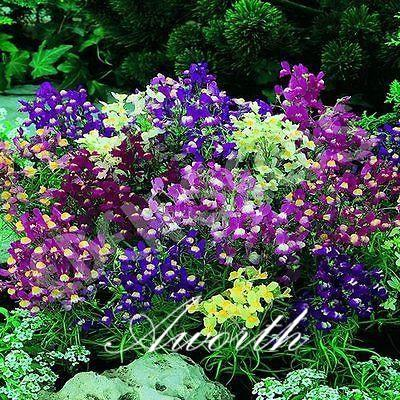 2019 Toadflax Linaria Vulgaris Flower 200 Seeds / Bag Mixed Color Perennial  Flower Rare Variety Easy To Grow From Seeds From Aworth, &Price