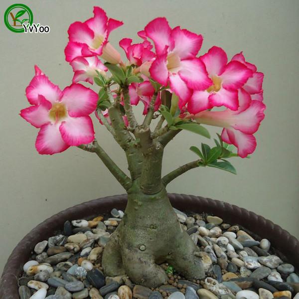 Daha renk Çöl gül tohumları Bonsai Balkon Çiçek Saksı Tohumları DIY Ev Bahçe 1 Parçacıklar / lot b018
