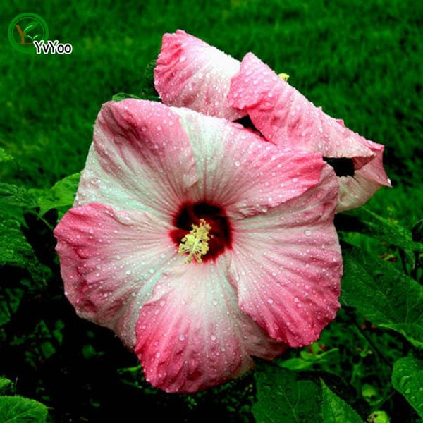 2019 Pink Hibiscus Seeds Bonsai Flower Plant Seeds Very Fragrant 50 Particles Q05 From Huangyonbo 053 Dhgatecom