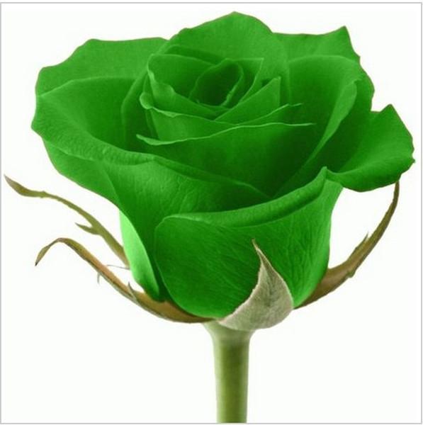 50pcs rose seeds Beautiful Flower seeds rainbow rose seed Bonsai plants Seeds for home & garden