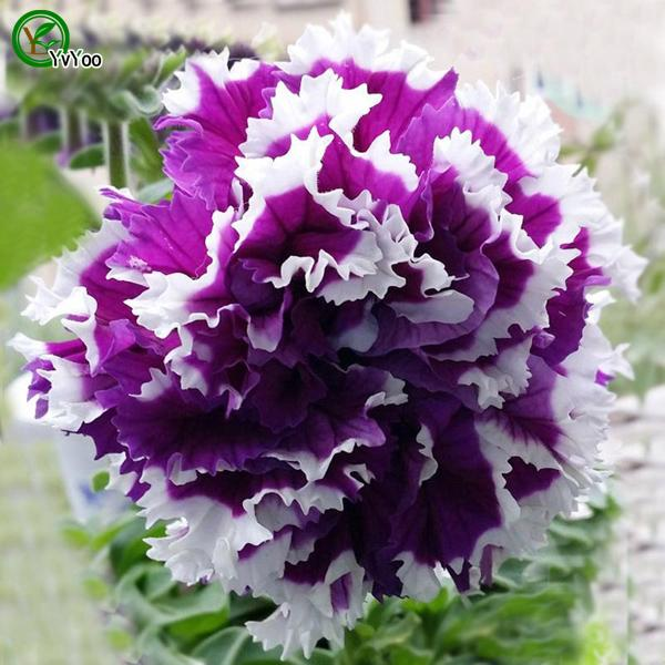 Petunia Seeds Bonsai Flower Plant Seeds Very Fragrant 200 Particles / lot E021