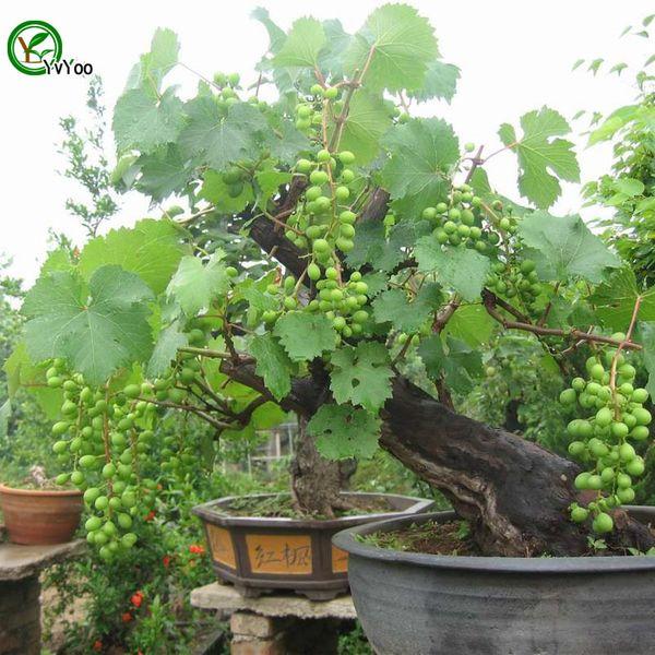 Green Grapes Seeds Organic Fruit Tree Seeds Home Garden Fruit Plant ,Can Be Eaten! 30 pcs G016