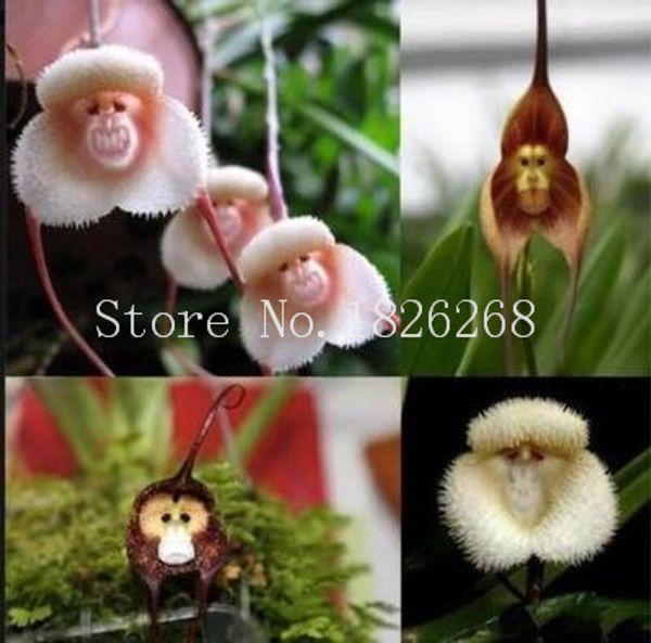 Bonsai Blumensamen Affengesicht Orchidee Blumensamen Garten Blumensamen 20 Stück