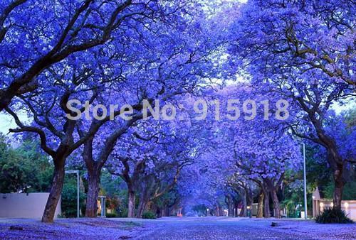 50 graines Purpleflower Violet et Fleurs Vivaces parfumée Home Pretty