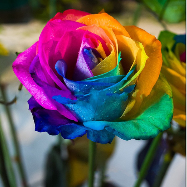 Rainbow Flower Seeds 100 Pcs Rose Seeds Colorful Garden Suppliers 2016  Spring Collections Free Shipping Garden