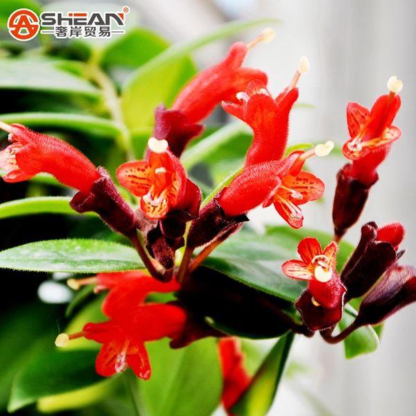 Rare Flower Seeds Lipstick Flower Garden Plants Bonsai Plants Potted Seeds 100 Pieces / Lot