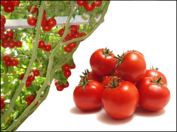 Pianta gigante da giardino di semi di pomodoro italiano raro - ortaggi / frutta - venditore britannico