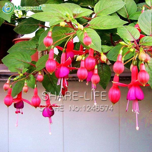 Clematis Tangutica Graines Fleurs Organic vivace de l/'Ukraine