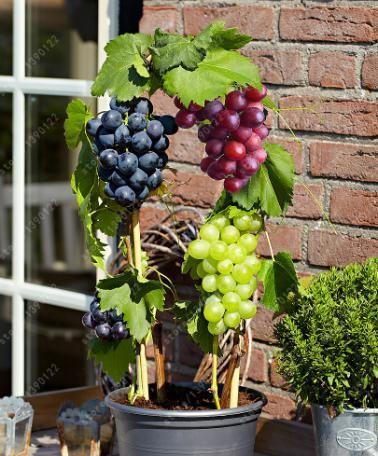 50 pcs/bag grape seeds Miniature Grape Vine Seeds Organic fruit seeds Succulent plants sweet food easy to grow plant for garden