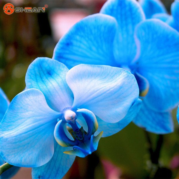 50 pcs/bag 9 Different Varieties Phalaenopsis Seeds Perennial Flowering Plants Potted Charming Chinese Flowers Seed 50 pcs/bag
