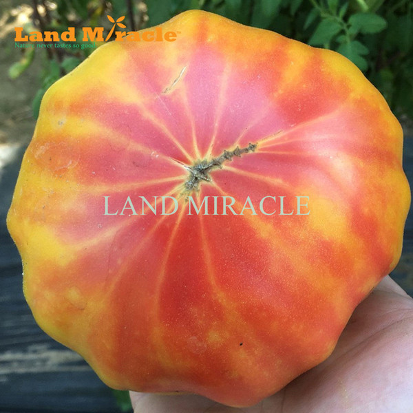 Raro Semi di pomodoro arcobaleno, 100 semi, vegetali commestibili biologici e semi di frutta pianta per giardino domestico