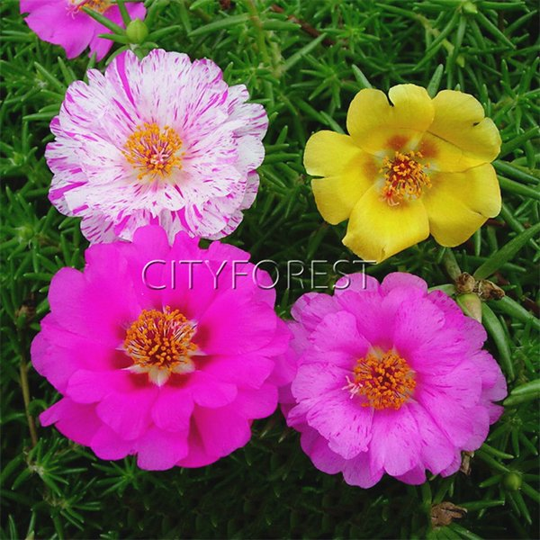 flower seeds 500 pcs Moss Rose Portulaca Grandiflora Mix