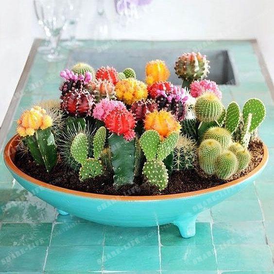 Plantes ornementales multiformes 100 graines de cactus mixtes attrayantes impressionnantes