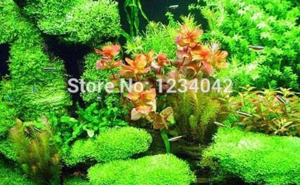 wholesale500 PC 수족관 잔디 씨앗 (물 잔디 무작위) 수생 식물 씨앗 공장 분재