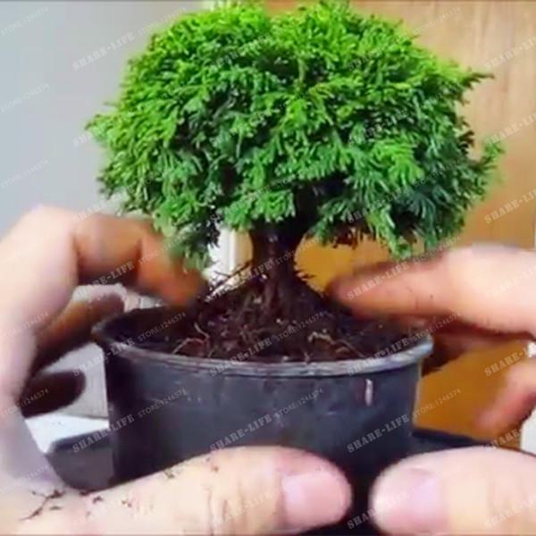 Mini Pino nero giapponese 50 semi * Pinus thunbergii * Bonsai * Ornamentale *. Bonsai Seed Evercreen Bonsai Home Garden Drop Shipping