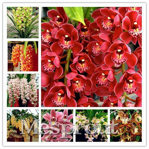 100pcs orchidée Cymbidium, graines de Cymbidium rares, graines de fleur de plantes à bonsaï, 22 couleurs au choix, plante pour jardin à la maison