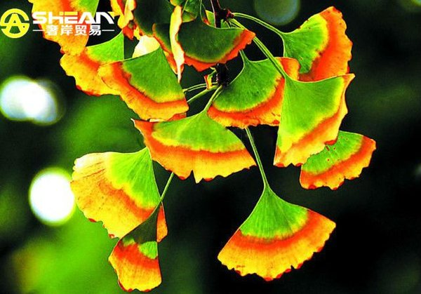 5 PCS Rare Rainbow Ginkgo Seeds Perennial Flowers Seeds Beautiful Potted Plant Seeds