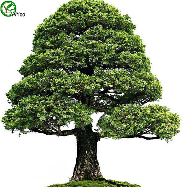 Selvi Ağacı Tohumları Ağaç Tohumları Yüksek sağkalım Oranı bonsai Meyve Tohum Ev Bahçe Bonsai Bitki Için 50 adet W012
