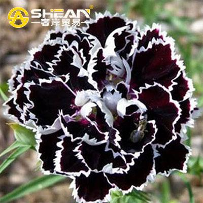 A Pack 200 Pcs Black Carnation Seeds Balcony Potted Courtyard Garden Plants Seeds Rose Dianthus Caryophyllus Flower Seed